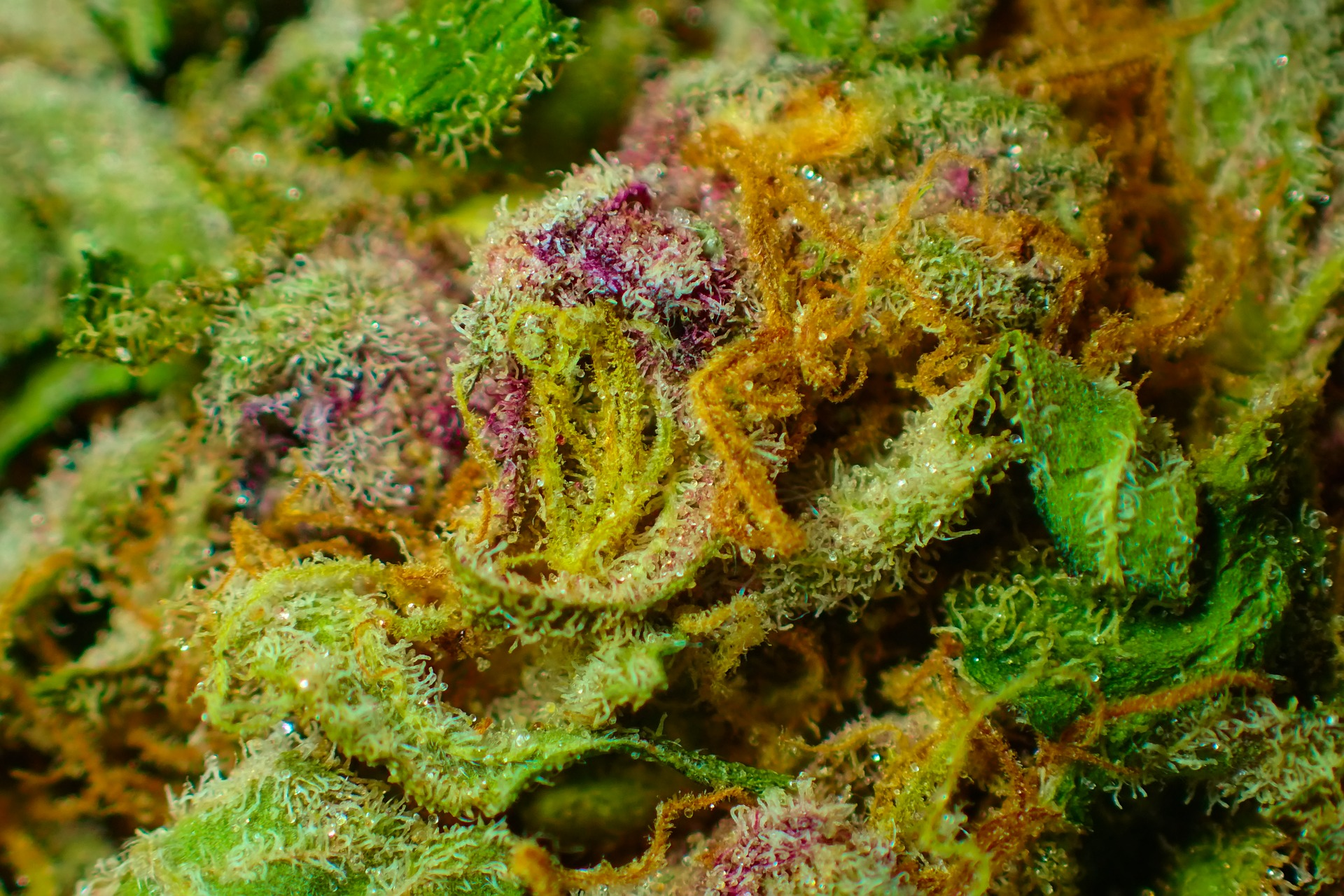 Which cannabis strain is right for you